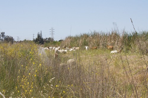 Goats on the salt marsh by the side of US101