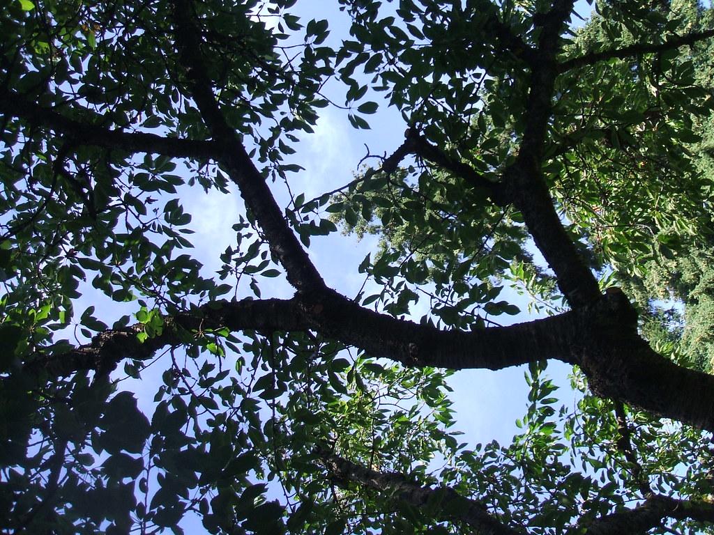 Blue sky through cherry tree