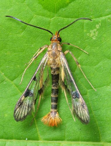 Maple Callus Borer moth