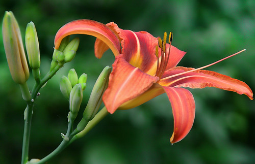 Native Daylily