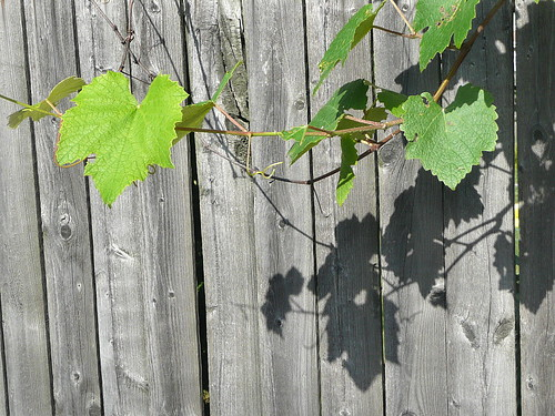 Grapevine with shadow