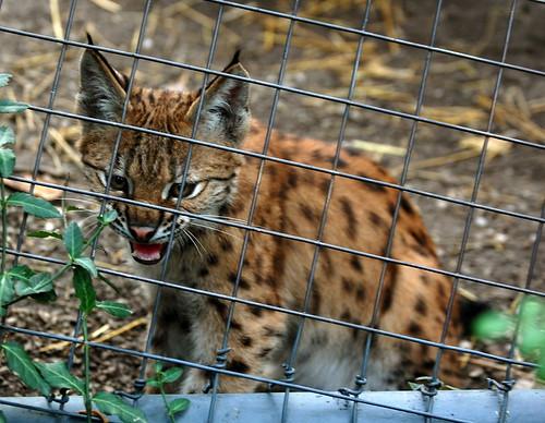 Tough Lynx!