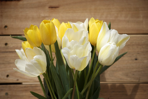 Yellow Tulip