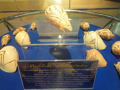 หอยสังข์โนรีย์เวียนซ้าย