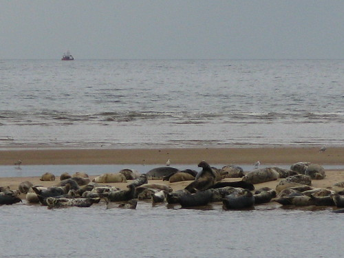 Seals resting on the sand bar