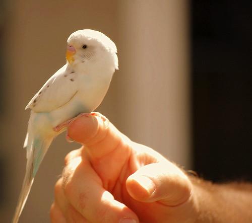 Parakeet finger