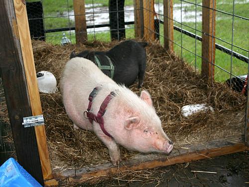 Pot-Bellied-Pigs