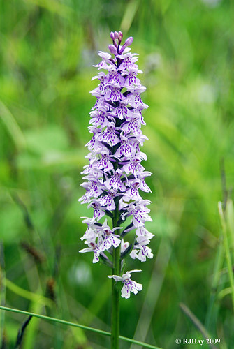 Lovely Little Orchid Along the Offa's Dyke Path