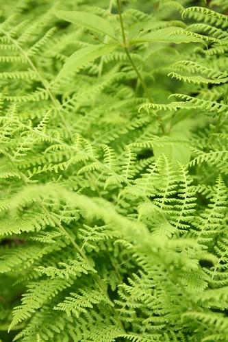 more ferns