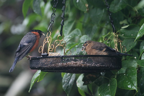 Bullfinch and youngster