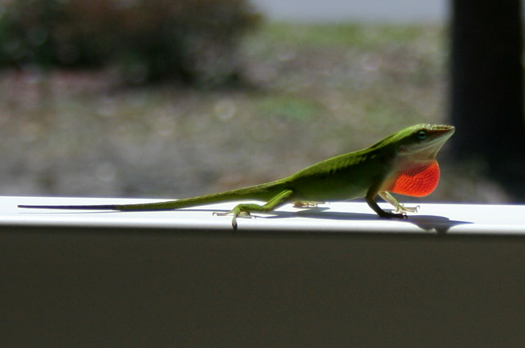 lizard on a rail