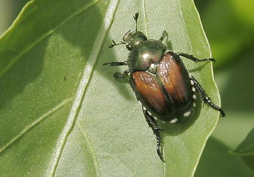 Annoying beetle