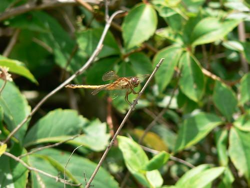 Camden Causeway Park - Dragonfly
