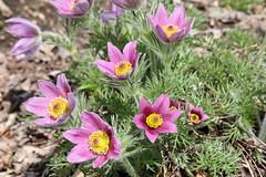 Pasque Flower (Pulsatilla vulgaris) 'Papageno'
