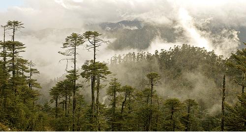 Plantas epifitas en los bosques nubosos tillandsias a reas for Porque son importantes los arboles wikipedia