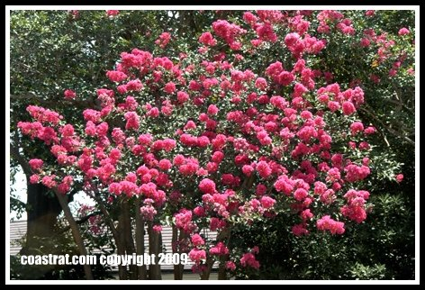 DSC_0222A-PinkFlowers