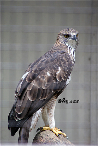 Changeable Hawk-eagle (Lang Hindek - Nisaetus cirrhatus)