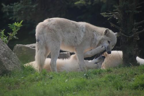 Polarwölfe im Zoo d'Amnéville