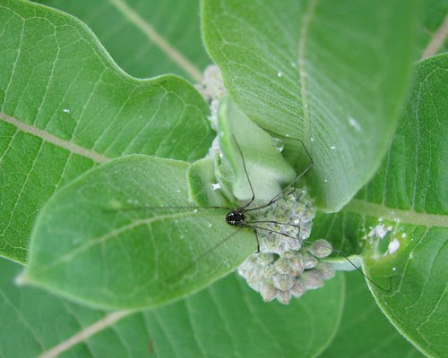 Harvestman on Milkweed