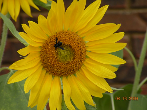 This bee hung around for days on end.  Apparently Im not the only one who loves my sunflowers.