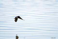 Swallow In Flight - Alfred Lagoon