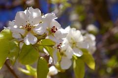 344/365 Blossoms