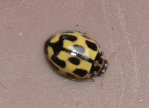 14-spot ladybird (Propylea 14-punctata)