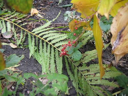 Ripe berries on Solomon's plume
