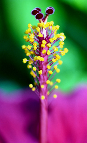 Hibiscus. (Fujicolor Pro 160C. Nikon F100. Epson V500.)