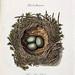 007-Nido del Malvís-Colección de nidos de aves 1772