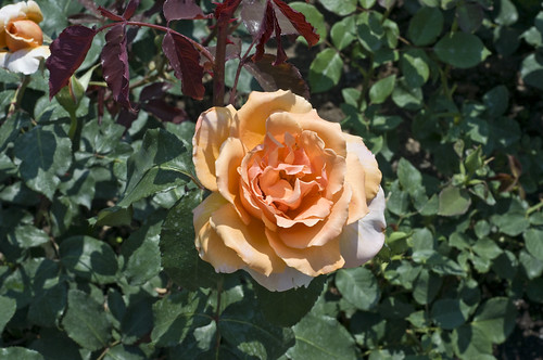 Orange Rose in Bloom within the Rose Gardens
