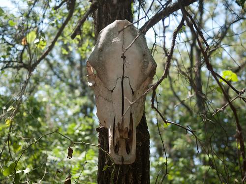 Johnson Branch skull