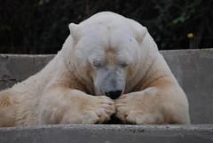 Eisbär Jurij im Parc zoologique et botanique de Mulhouse