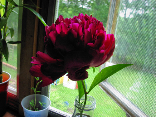 The annual peony