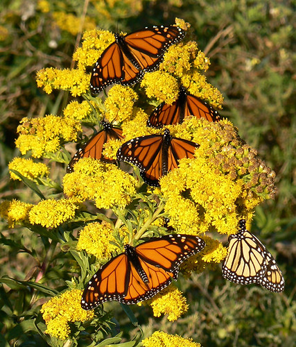 Monarch Butterfly Pic From Kim Smith