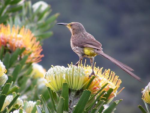 Sugar bird (Promerops cafer)
