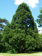 5. Giant Sequoia (Sequoiadendron giganteum)