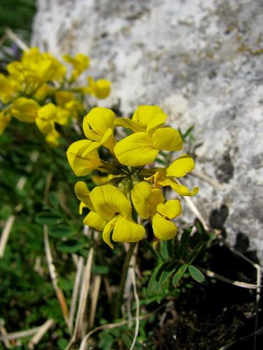 Blume im Diemtigtal bei Bern por chrchr_75