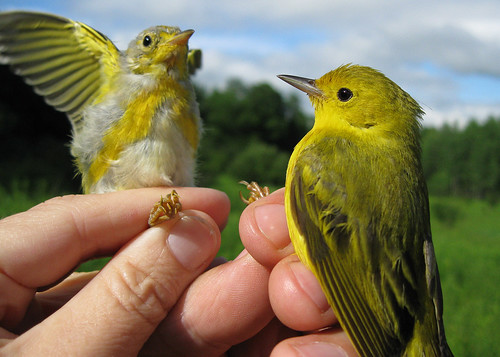 Yellow Warblers - Juvenile and Adult
