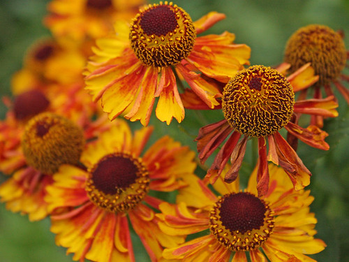 mandarin orange flower, flowerheads, vibrant, healthy, living, flowers, local park, park,