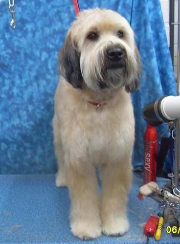 Wheaten Terrier Haircut Styles : wheaten, terrier, haircut, styles, BBird's, GroomBlog:, 'BENJI'
