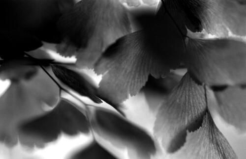 Fern. (Kodak T-Max 400. Nikon F100. Epson V500.)