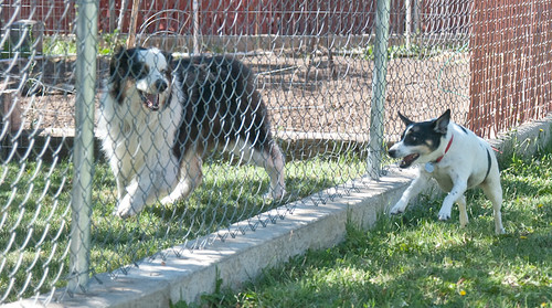 Dogs Fencing 3