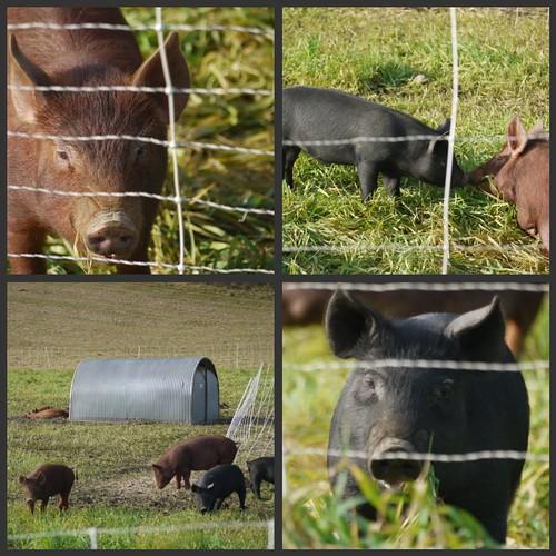 Hogwash farm piglets