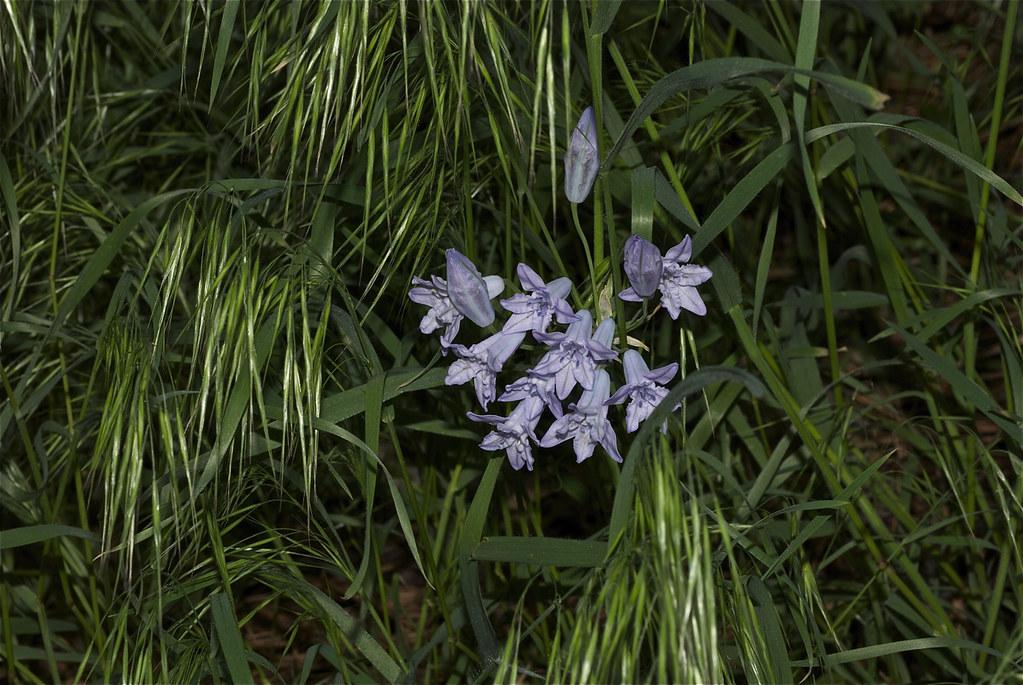 Largeflower triteleia
