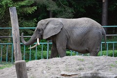 Afrikanischer Elefant Katka im Zoo Gdansk