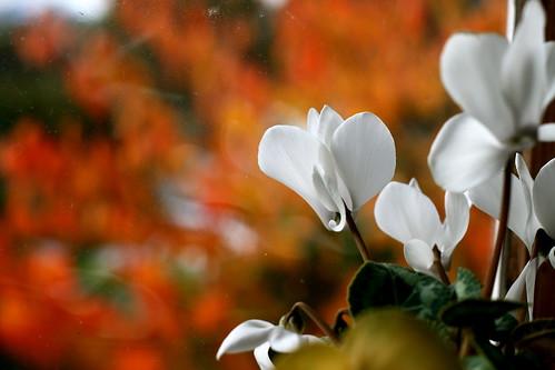 Saturday: White Flower, Flame Tree, Sickbed