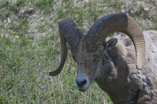 Close up on the Bighorn Ram (Male of the Sheep)