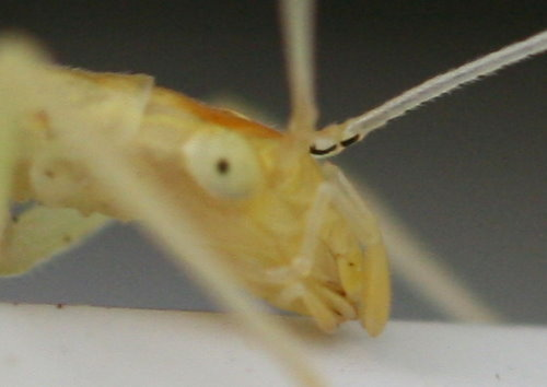 Narrow-winged Tree Cricket, Oecanthus niveus