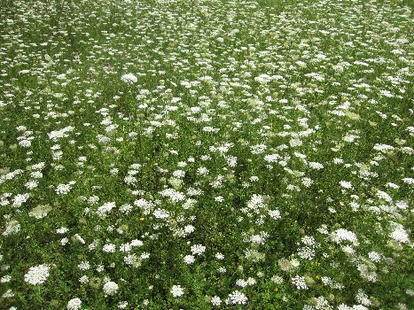 Sea of Queen Anne's Lace